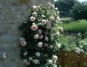 Rosier Grimpant Blanc : rosiers grimpants vari t s taille utilisation ~ Premium-room.com Idées de Décoration