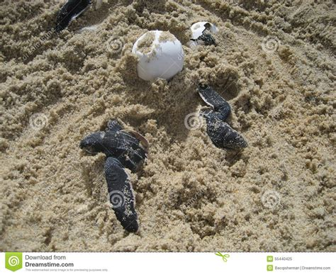 sea turtle baby hatchlings and eggs on stock photo image 55440425