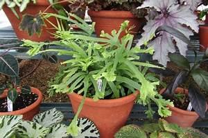 Fougère Pteris Cretica : 10 plantes pour la salle de bains hortus focus i mag ~ Melissatoandfro.com Idées de Décoration