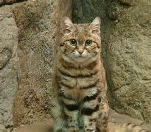 black footed cat black footed cat pixdaus