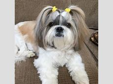 Shih Tzu Breed Description Information History and Overview
