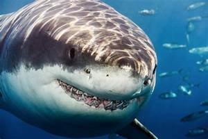 Pictures of Great White Sharks Jumping Up Close - #catfactsblog