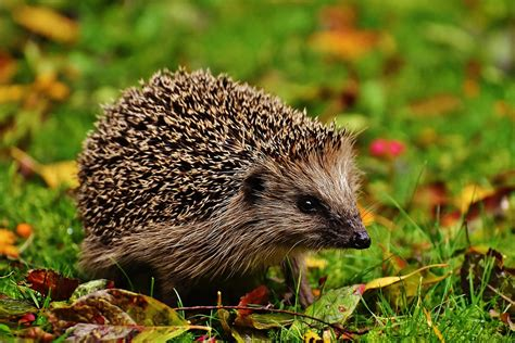 Students save and nurture a hedgehog back to health