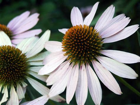 how to grow coneflowers how to grow coneflower garden guides