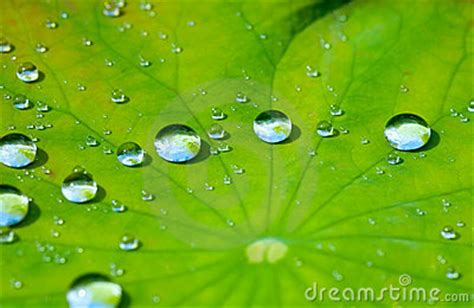 lotus leaf  water drop stock images image