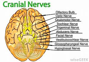 What Are The Nerves In The Neck   With Pictures