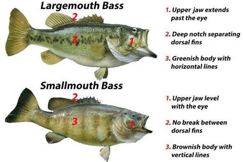 smallmouth  largemouth bass