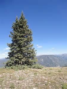 douglas fir tree pictures facts on douglas fir trees