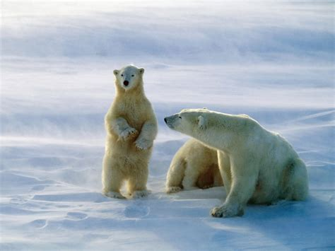 Funny Animal Polar Bears Pictures Photos Hd Wallpapers