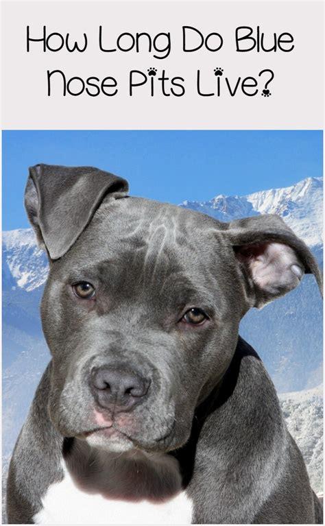 blue nose pitbull lifespan longer