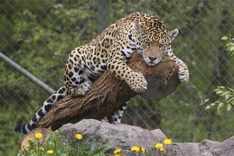 Jaguar Backgrounds by Jaguar Hd Wallpaper Background Image 2048x1365 Id