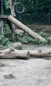 Zookeeper Mauled to Death by Bengal Tigress in India ...