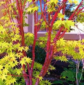 Roter Ahorn Baum : pi di 25 fantastiche idee su roter ahorn su pinterest ~ Michelbontemps.com Haus und Dekorationen