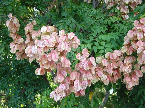 panicled raintree promises showy lantern pods what grows there hugh conlon