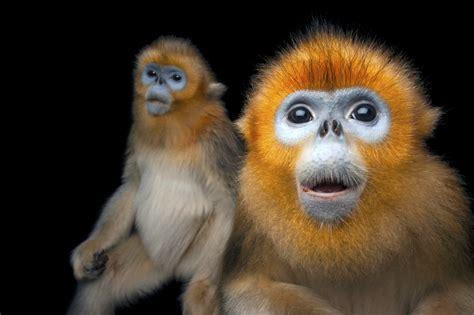 National Geographic Photo Ark Spotlight Golden Snubnosed