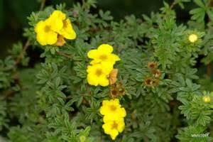 Flower Garden Borders by Shrubby Potentilla Info How To Care For Potentilla Shrubs