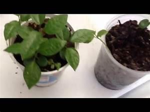 planta de maracuya - YouTube