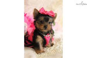 Baby Girl Teacup Yorkie Puppies