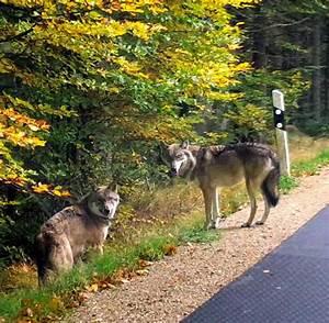 Bilder Vom Wald : bayerischer wald suchtrupp t tet erneut einen entlaufenen wolf welt ~ Yasmunasinghe.com Haus und Dekorationen