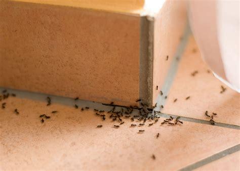 ameisenplage was tun die 7 besten tipps gegen ameisen im haus heimhelden