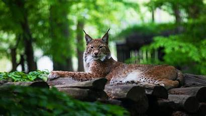 Lynx Predator Animal Relaxed Wild Animals Fondos
