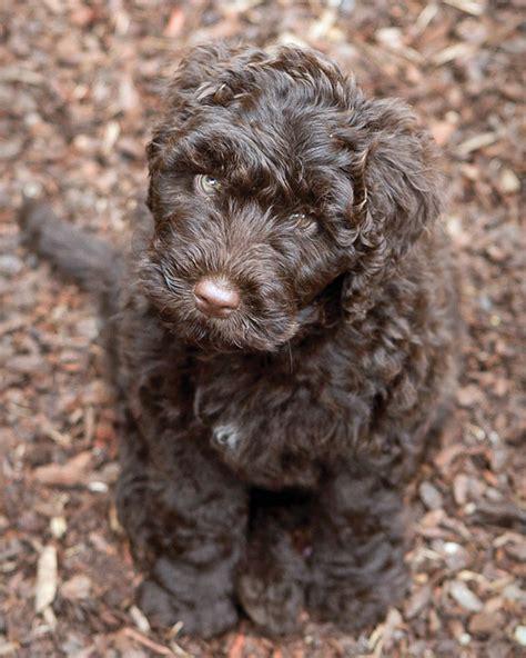 Non Shedding Breeds Australia by Non Shedding Dogs Australia Breeds Picture