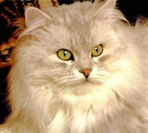 foto persiani immagini di gatti persiani wr39 187 regardsdefemmes