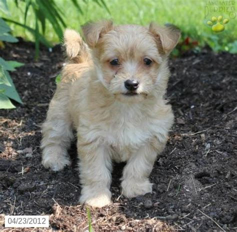 yorkiepoo puppy for sale animals puppies and