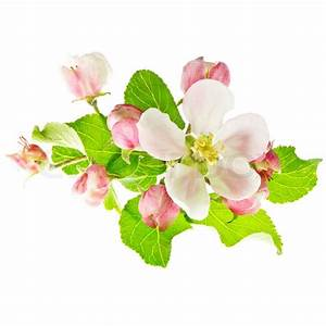 Spring Flowers  Apple Blossoms On White Background