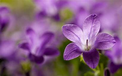 Campanula Flower Flowers Wallpapers Desktop 4k