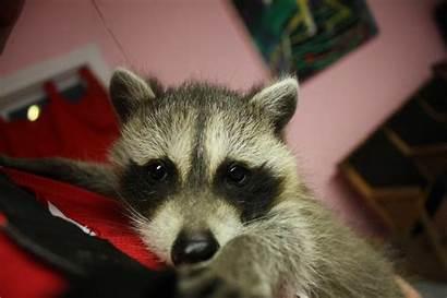Raccons Lock Too Raccoon Adorable Spoon