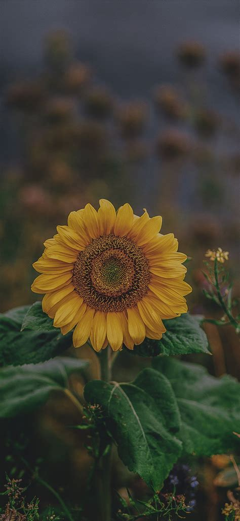 Choose from a curated selection of flower wallpapers for your mobile and desktop screens. #BeautifulSunflower!!! in 2019   Flower phone wallpaper ...
