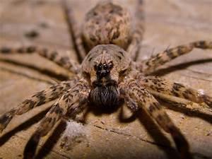 Faire Fuir Les Araignées : pourquoi les m les de ces araign es p cheuses ne connaitront qu une seule fois l amour avant de ~ Melissatoandfro.com Idées de Décoration