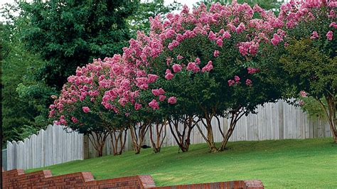 The Complete Guide To Crepe Myrtle Trees