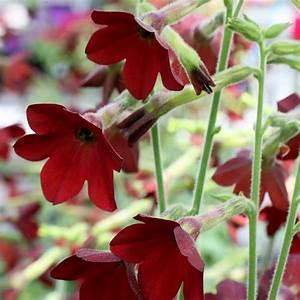 Nicotiana Seeds - 13 Flowering Tobaccos