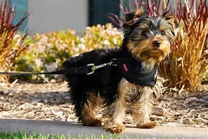 File:Winston, a Yorkshire Terrier puppy.jpg - Wikimedia ...
