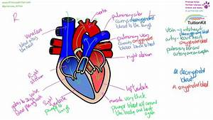 The Heart - Structure And Function