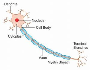 Labeled Diagram Of Nerve Cell Wwudaicc