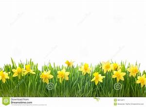 Spring Narcissus Flowers In Green Grass Royalty Free Stock ...