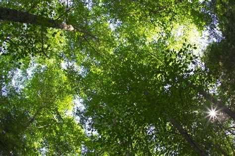 canap tress tree canopy