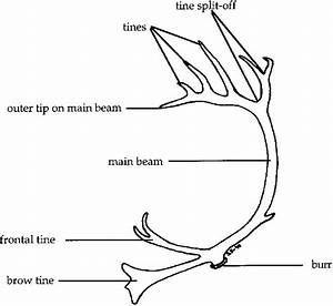 Antler Nomenclature  All Parts On The Antler Were Included