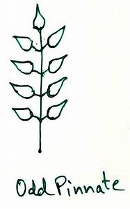 Leaf and Types of Leaf   Modifications of Leaves   Venation