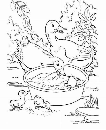 Coloring Duck Animal Duckling Farm Eating Mother