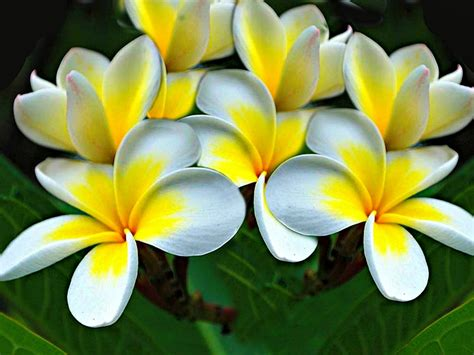 plumeria flowers yellow white hd wallpaper