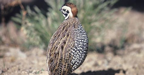 how to feed coturnix quail ehow uk