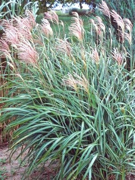 decorative grass types of ornamental grasses hgtv