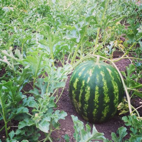 Watermelon Vine Tumblr