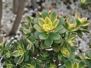 Entretien Plantes Grasses : aeonium culture entretien varietes ~ Melissatoandfro.com Idées de Décoration