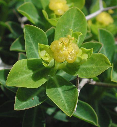 when to plant flowers flower gallery euphorbiaceae aaaa9341