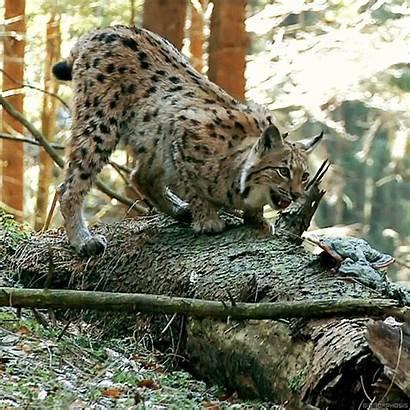Lynx Animals Nature Gifs Wild Cats Eurasian